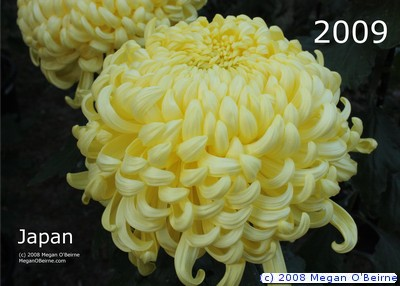 Chrysanthemum, floral emblem of Japan